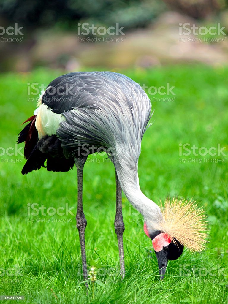 African Crested Crane on the pasture stock photo