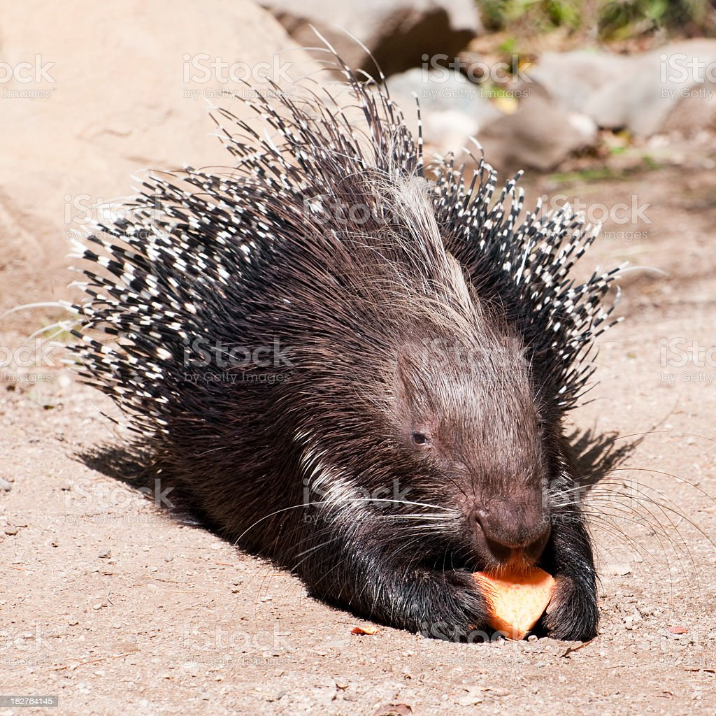 African crested porcupine, Hystrix cristata stock photo