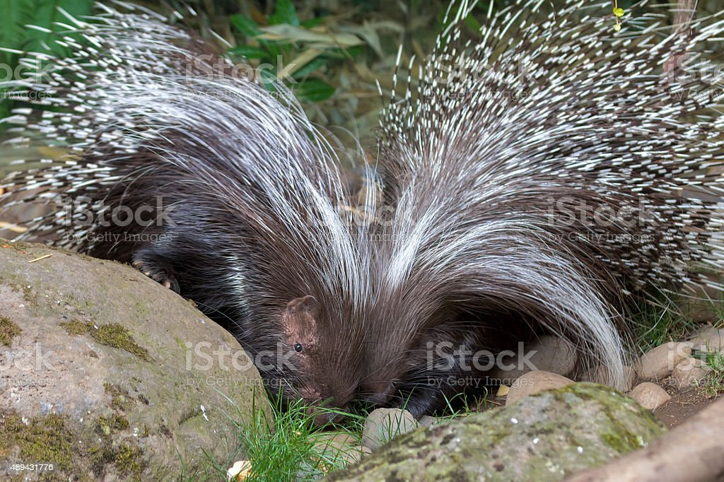African Crested Porcupine Pair stock photo