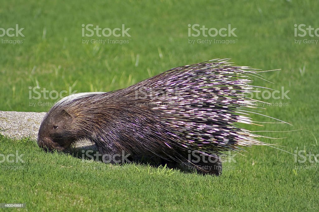 African crested porcupine stock photo