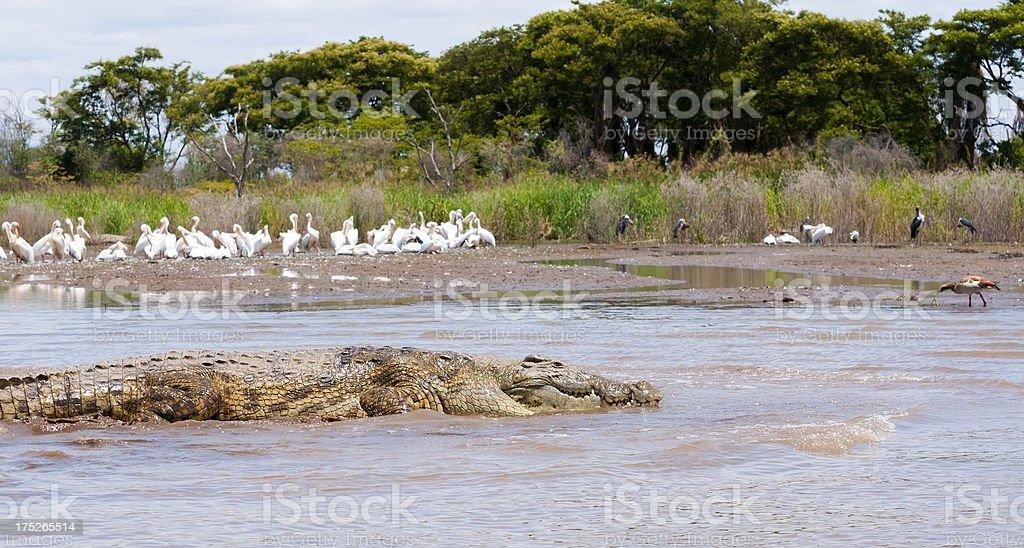 African crocodile, pelicans, and Marabou storks on Lake Chamo stock photo