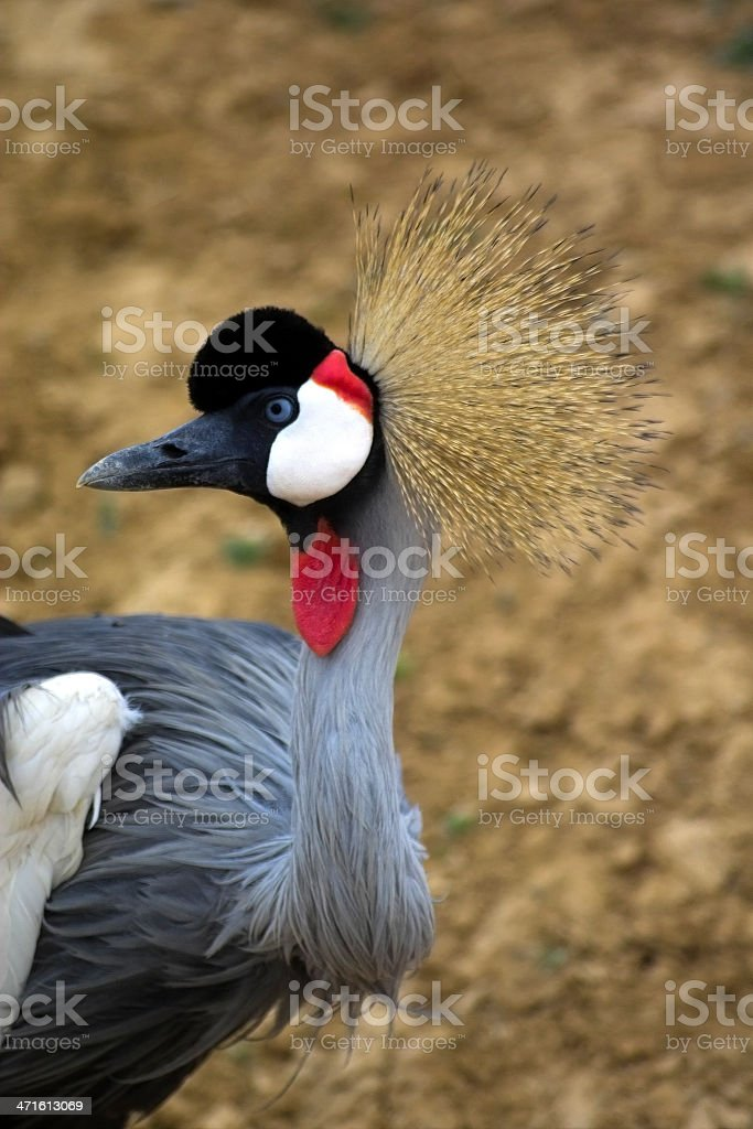 African crowned crane royalty-free stock photo