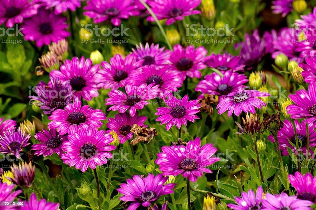 African Daisy flower, Osteospermum flower background stock photo