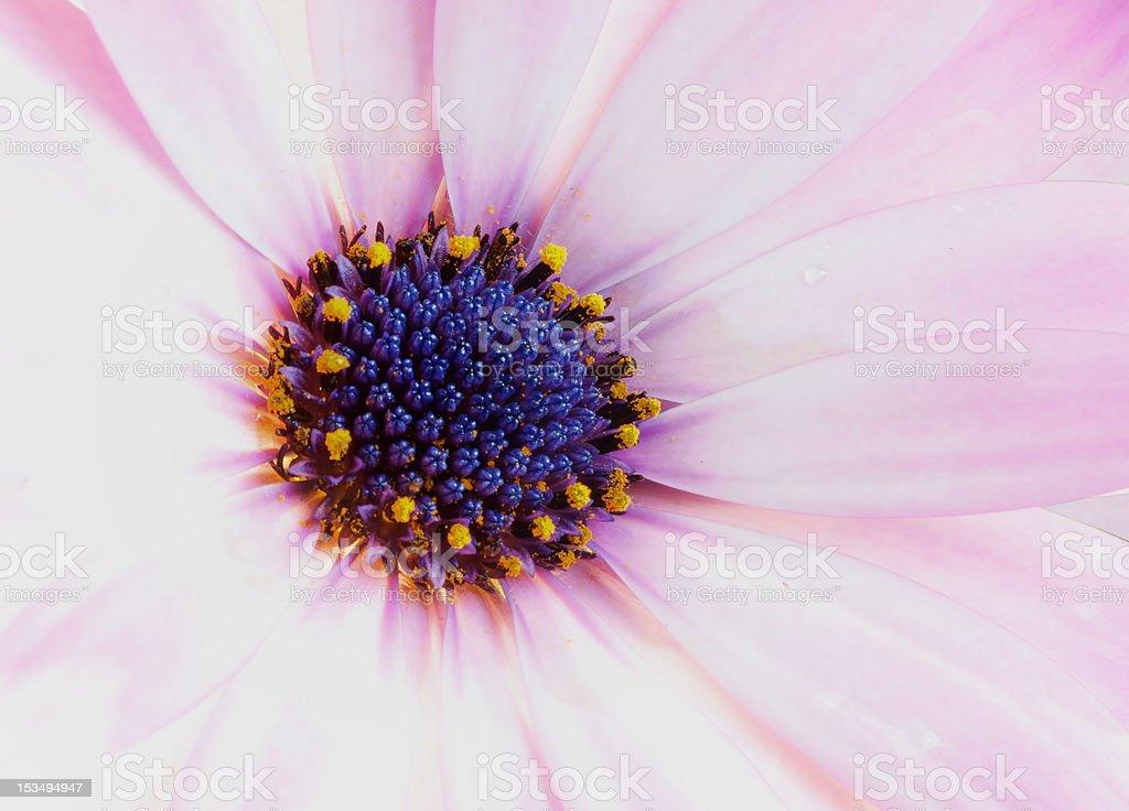 African Stokrotka Kwiat (Stokrotka afrykańska zbiór zdjęć royalty-free