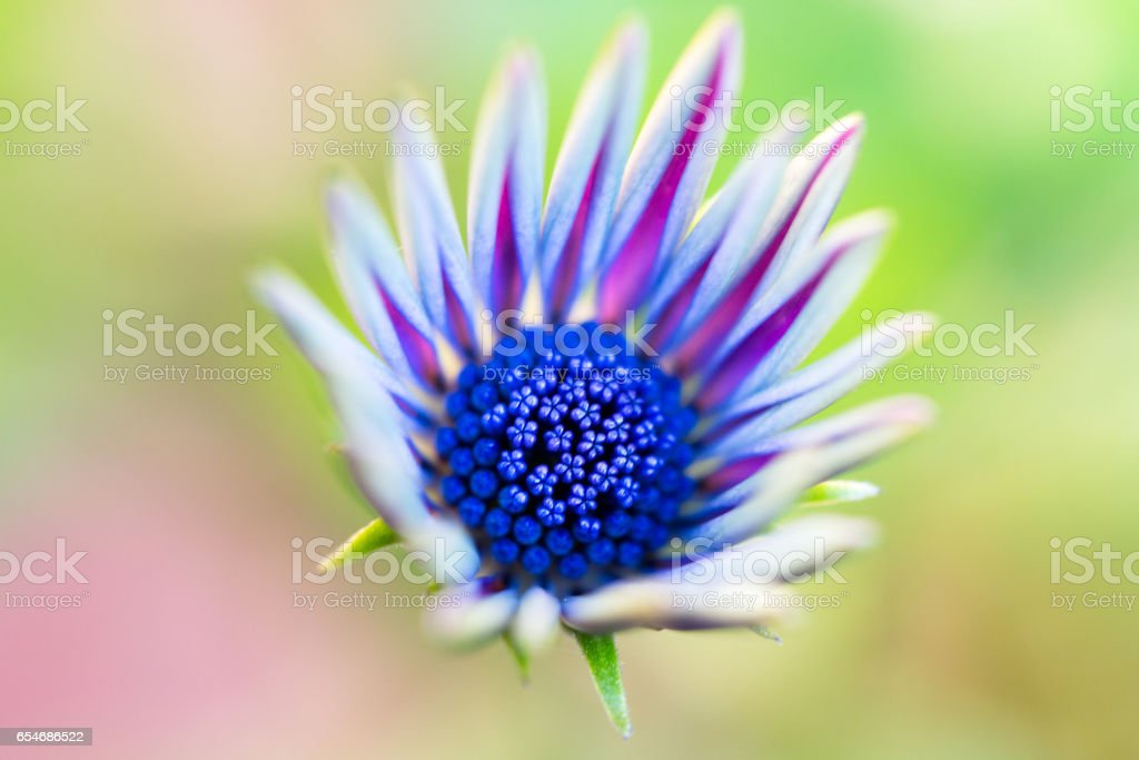 African daisy in vibrant colors stock photo