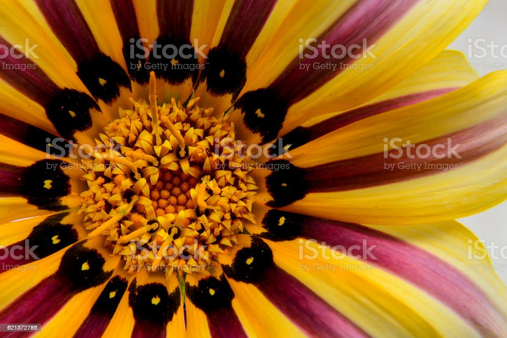 African Daisy Macro stock photo
