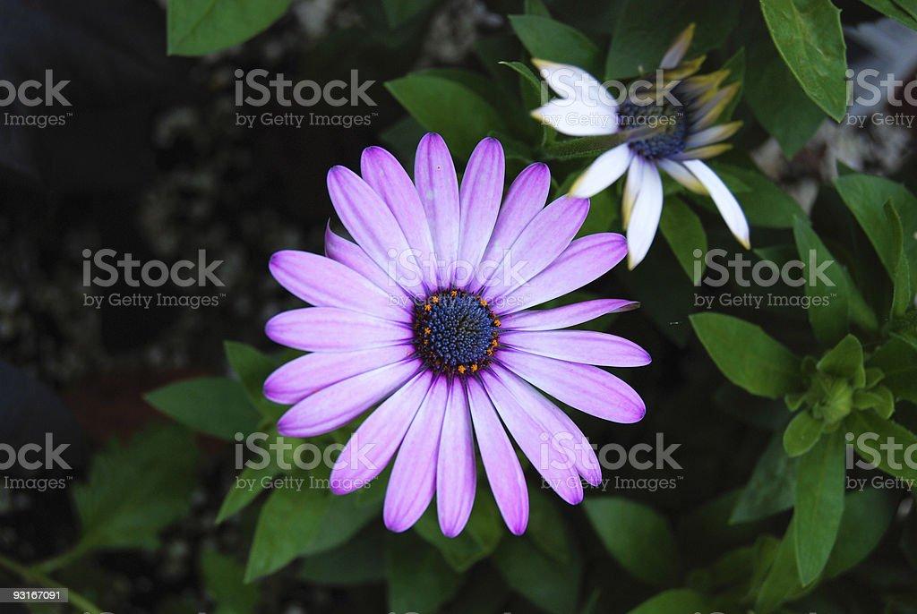 African Daisy stock photo