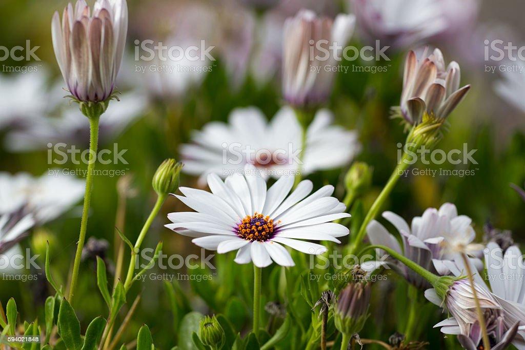 African daisy, white flower nature. Osteospermum in garden. Campanula stock photo