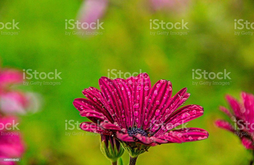 African Daisy с Raindrops Стоковые фото Стоковая фотография