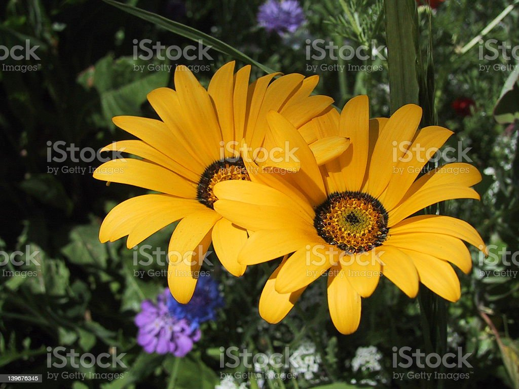 african daisys holding hands royalty-free stock photo
