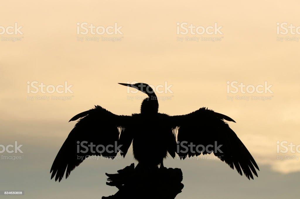 African Darter Anhinga rufa aquatic water bird feathers wings silhouette stock photo