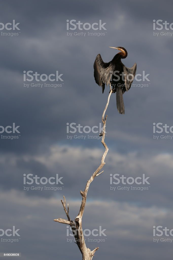 African Darter on Branch in Wild stock photo