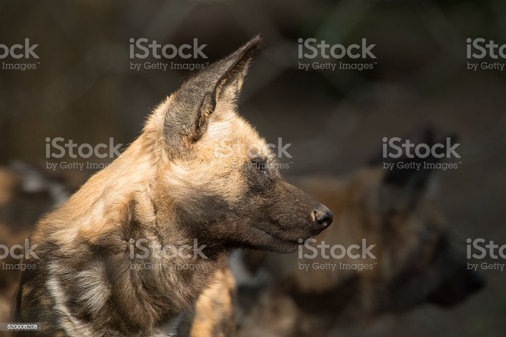 African Dog (lycaon) close up stock photo