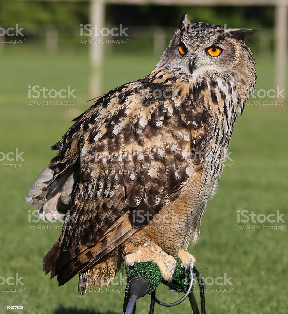 African eagle owl on perch stock photo