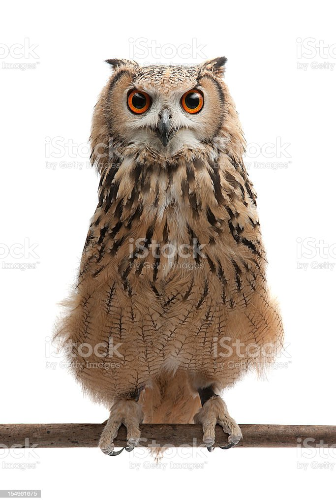 African Eagle Owl stock photo