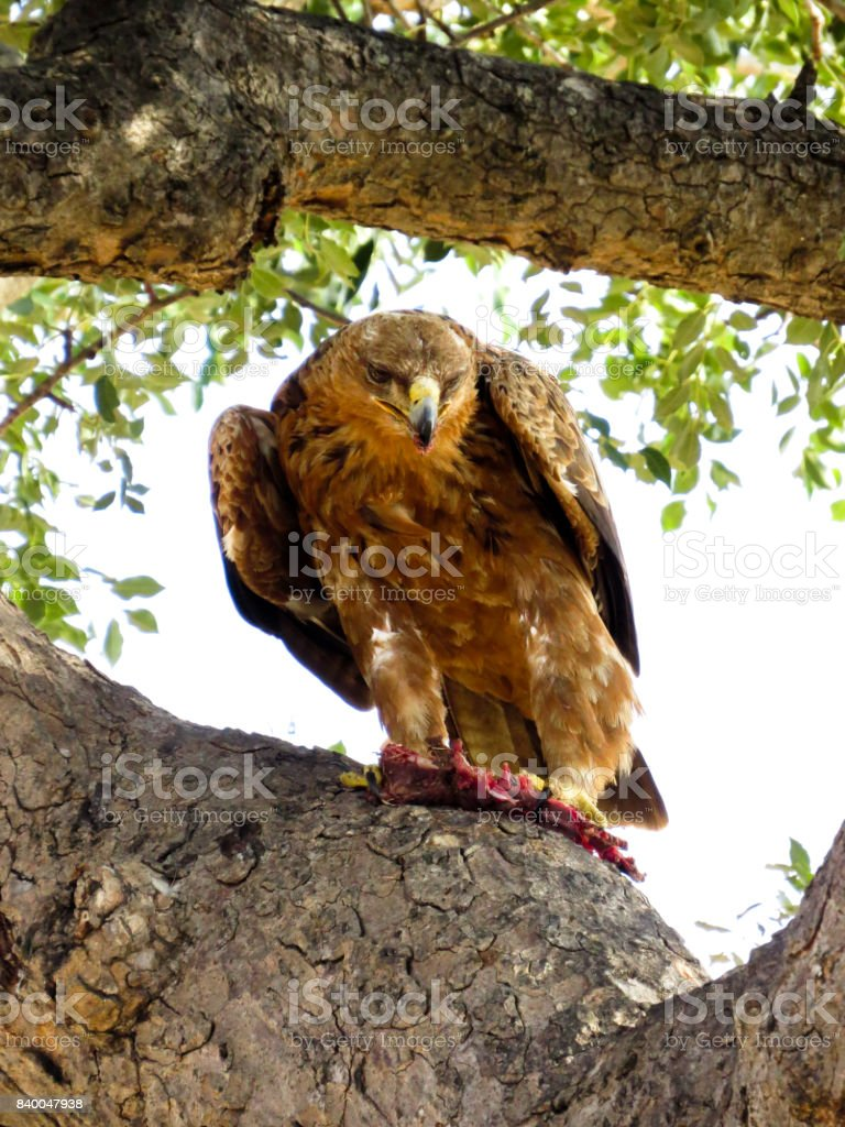 African eagle stock photo