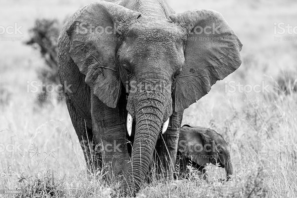 African Elephant and baby: Eating royalty-free stock photo