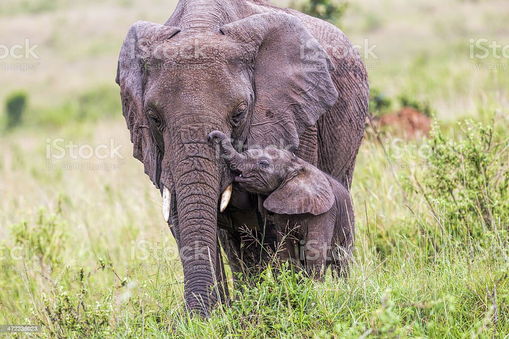 African Elephant and baby: Love royalty-free stock photo