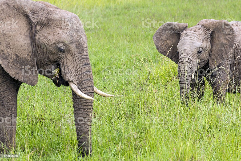 African Elephant and baby: Teaching royalty-free stock photo