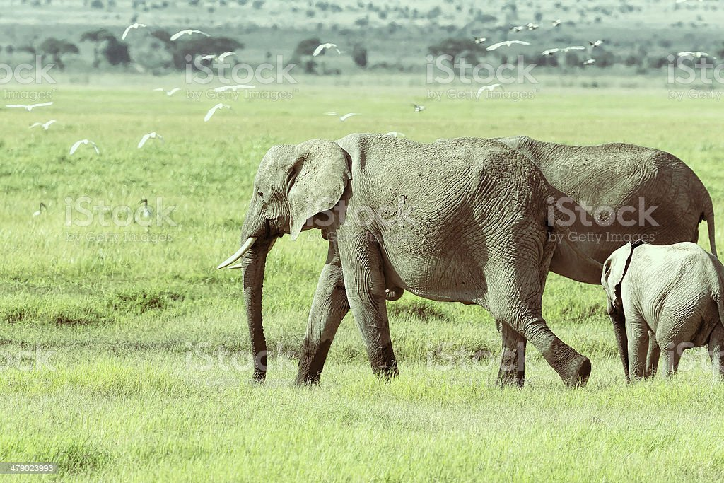 African Elephant and Calf in marsh with flying birds royalty-free stock photo