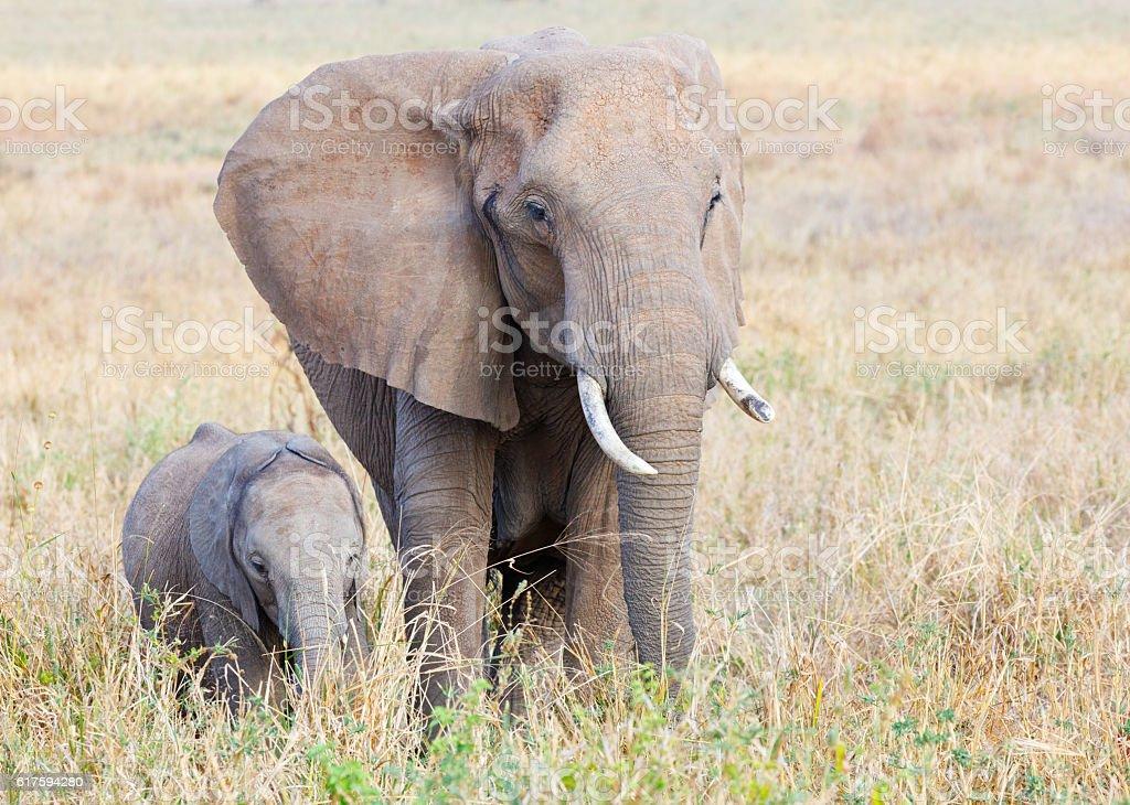 African Elephant and calf in Tarangire National Park, Tanzania Africa stock photo