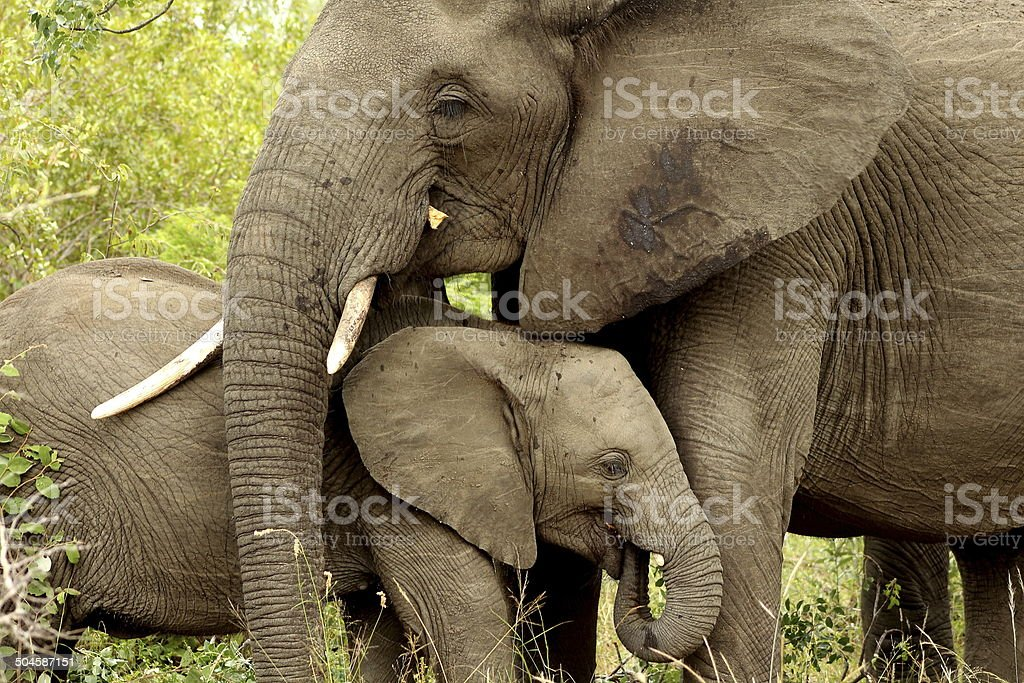 African Elephant and calf royalty-free stock photo