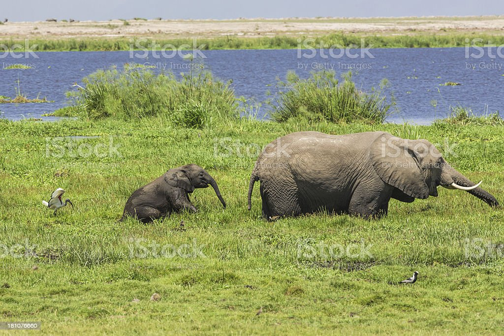 African Elephant and Hungry Calf in marsh royalty-free stock photo