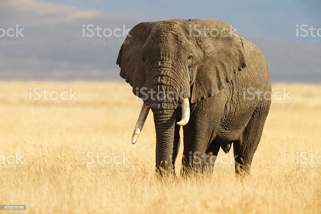 African Elephant and the Ngorongoro Savanna in Tanzania stock photo