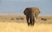 African Elephant and the Ngorongoro Savanna in Tanzania