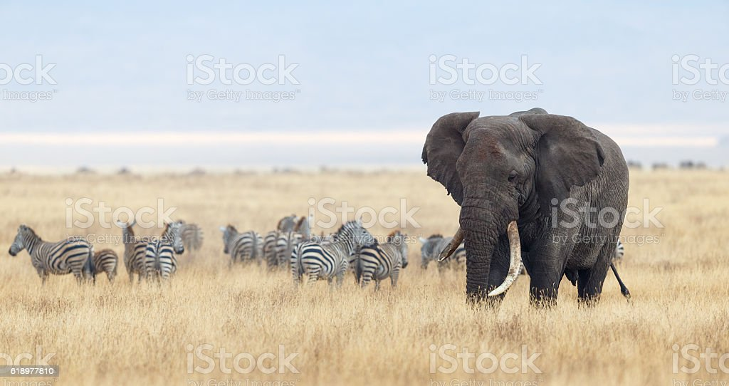 African Elephant and Zebra herd in Ngorongoro Crater, Tanzania Africa stock photo