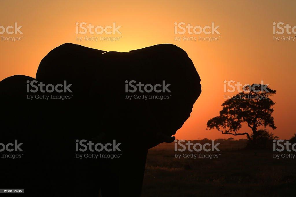 African elephant at sunset in Savuti, Chobe National Park, Botswana stock photo