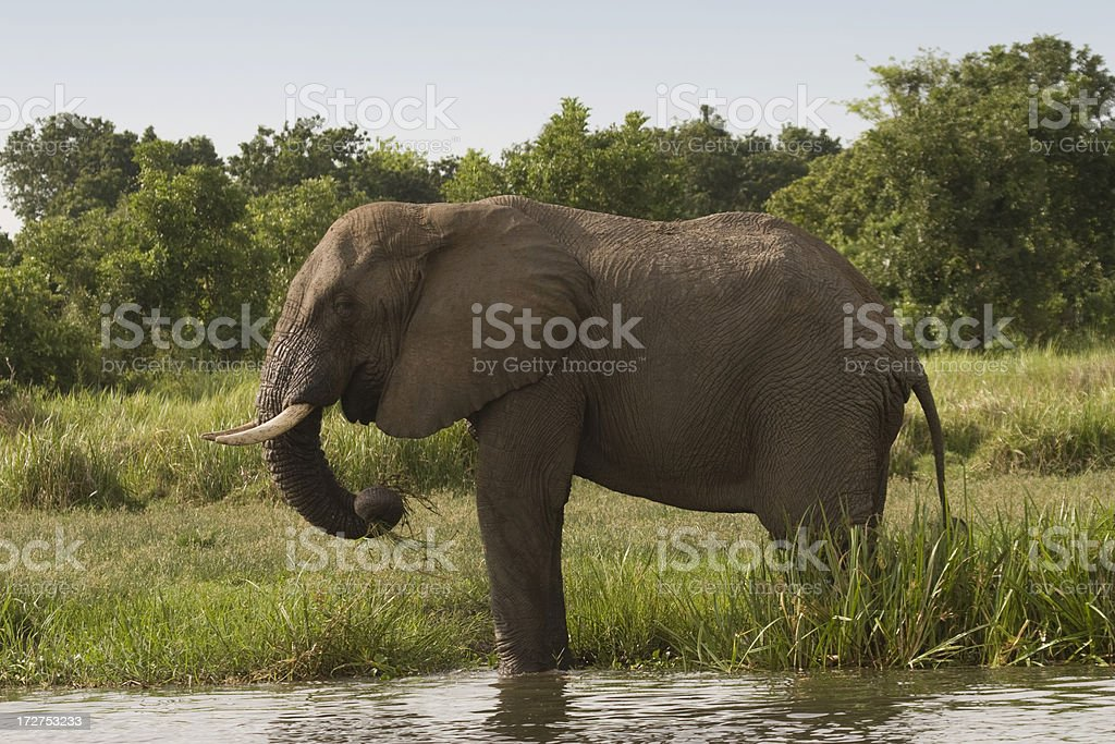 African Elephant at the Victoria Nile riverbank royalty-free stock photo