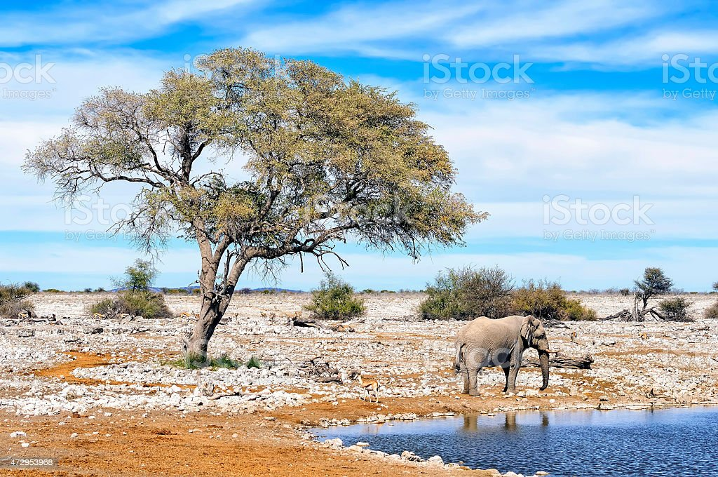 African elephant at water pool in Etosha National Park, Namibia stock photo
