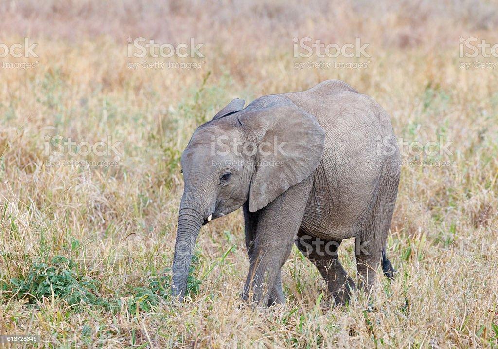 African Elephant Baby at Tarangire National Park, Tanzania Africa stock photo
