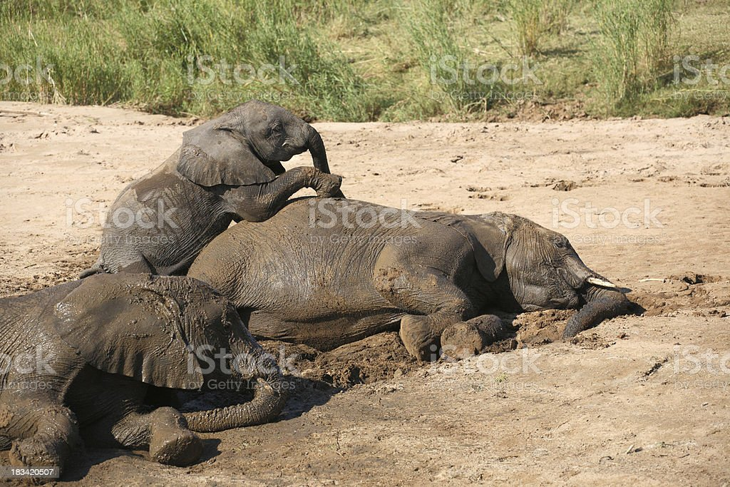 African elephant baby playing with mom at a mud wallow royalty-free stock photo