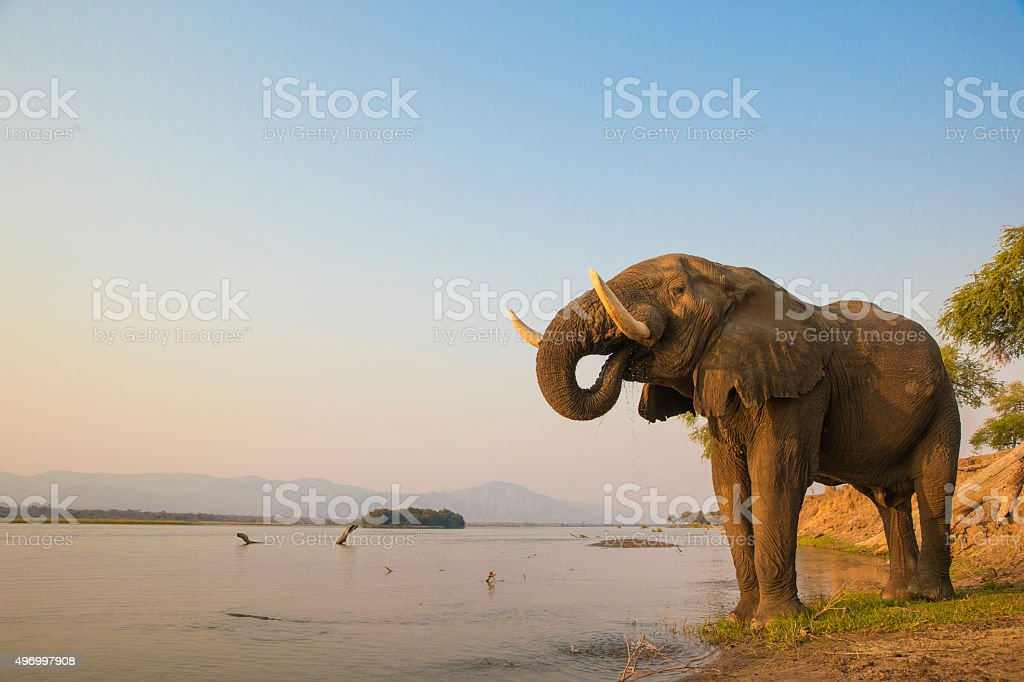 African Elephant bull drinking on the Zambezi river stock photo