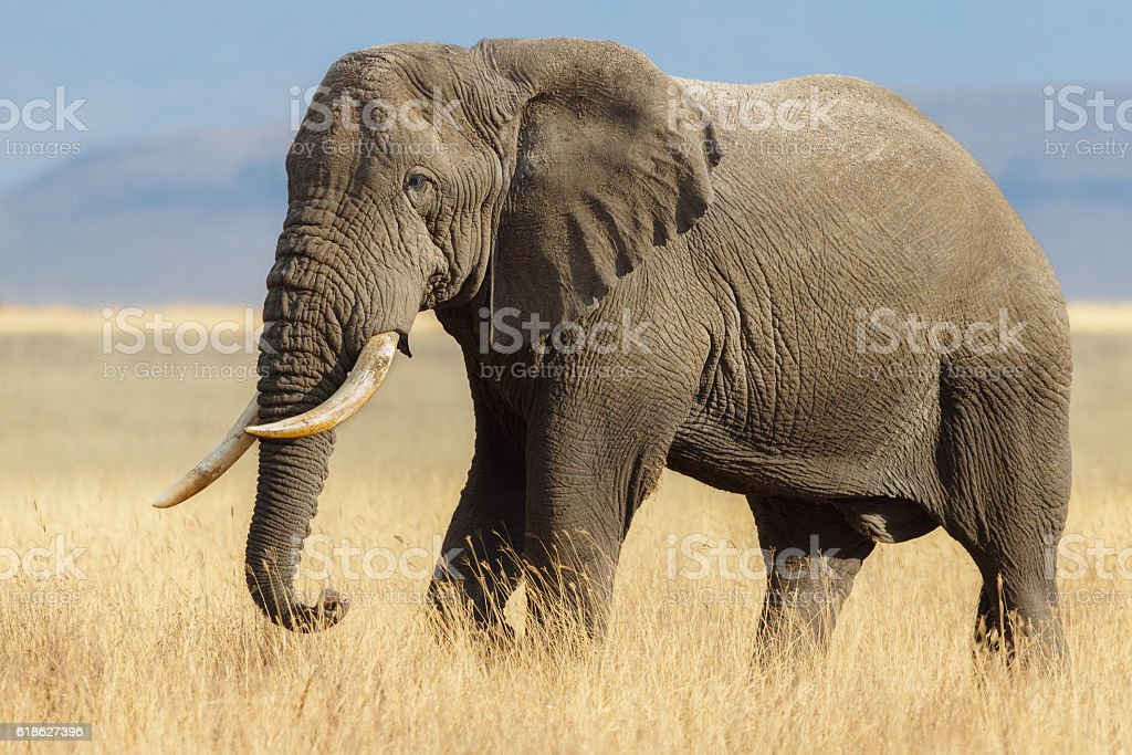 African Elephant Bull in the Ngorongoro Savanna, Tanzania Africa stock photo