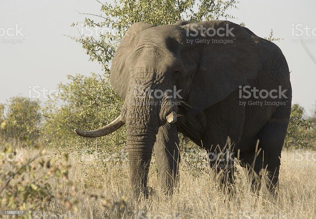 African Elephant Bull royalty-free stock photo
