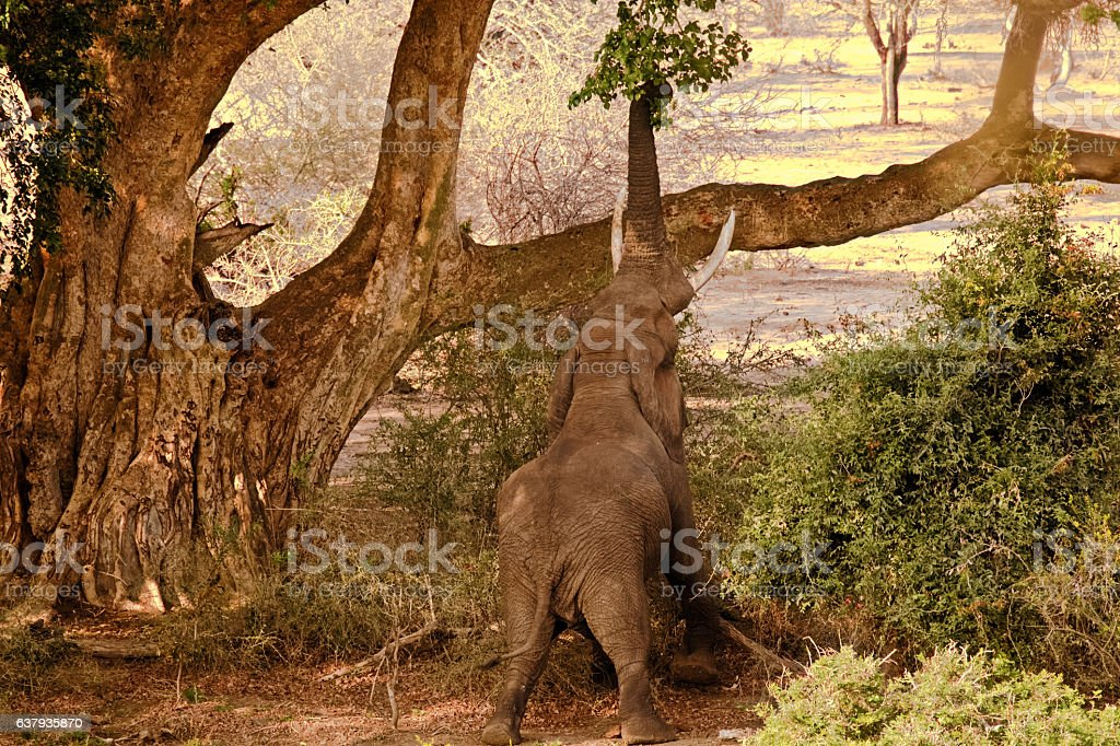 African elephant bull stretching stock photo