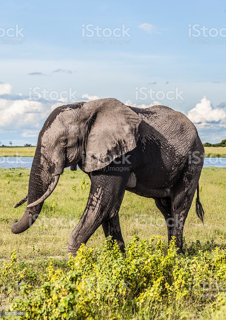 African Elephant Bull walking; Chobe N.P., Botswana, Africa stock photo
