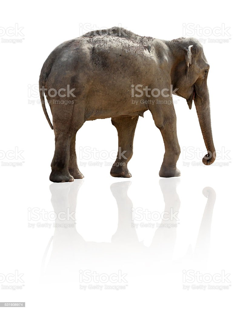 African elephant cow isolated with reflecting drop shadow stock photo