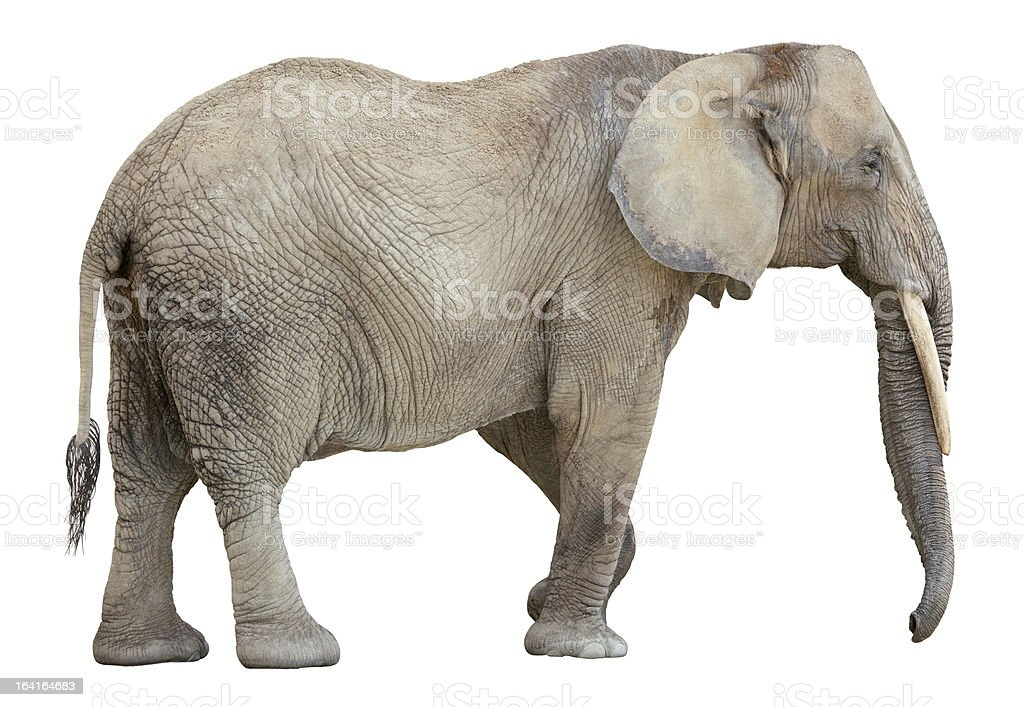 African Elephant cutout stock photo