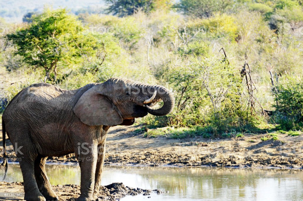 African elephant drinking at the waterhole in the Madikwe Game Reserve in South Africa stock photo