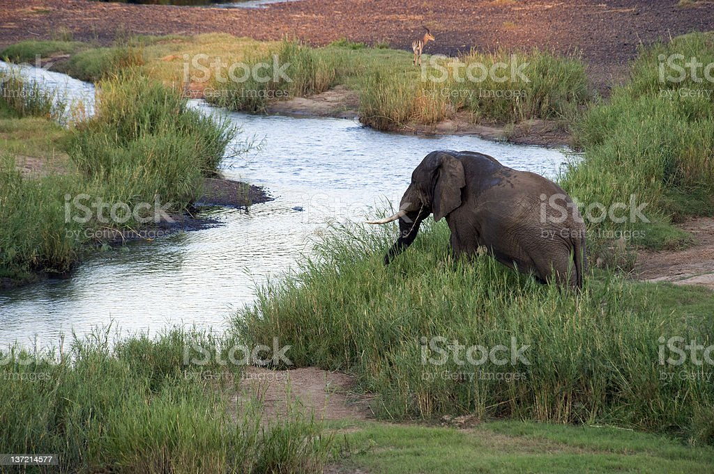 African Elephant drinking royalty-free stock photo