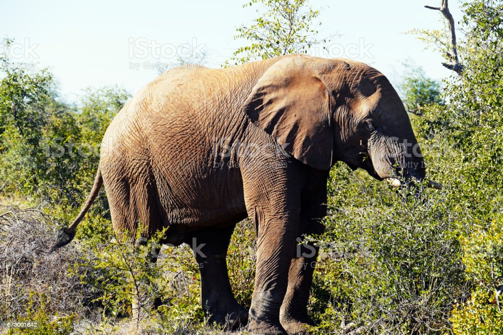 African  elephant eating acacia leaves  in the Madikwe Game Reserve in South Africa stock photo