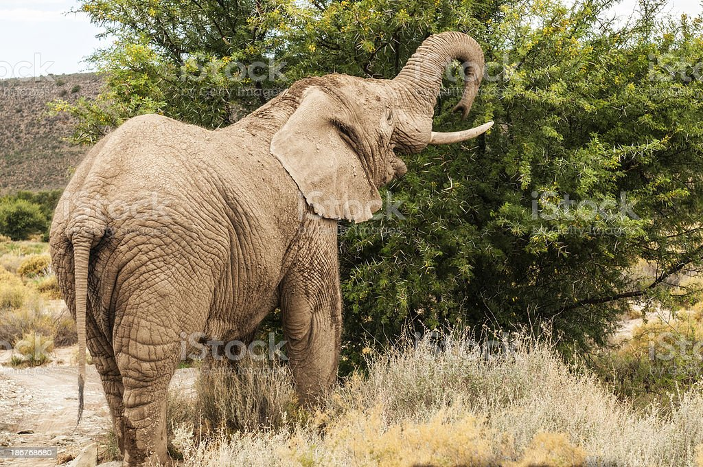 African Elephant Eating from a Tree stock photo