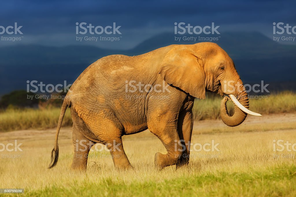African Elephant eating grass just before the rain stock photo