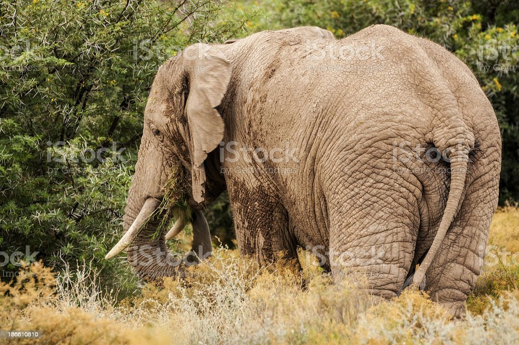 African Elephant Eating Grass stock photo
