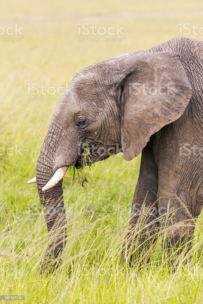 African Elephant - Eating royalty-free stock photo