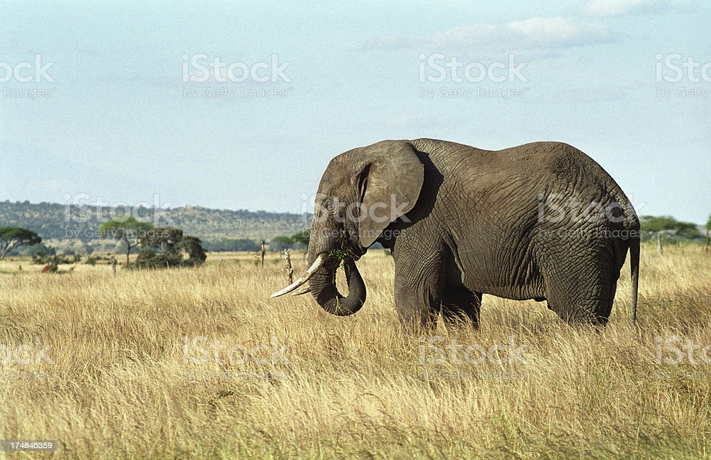 African elephant eats grass Tanzania copy space royalty-free stock photo